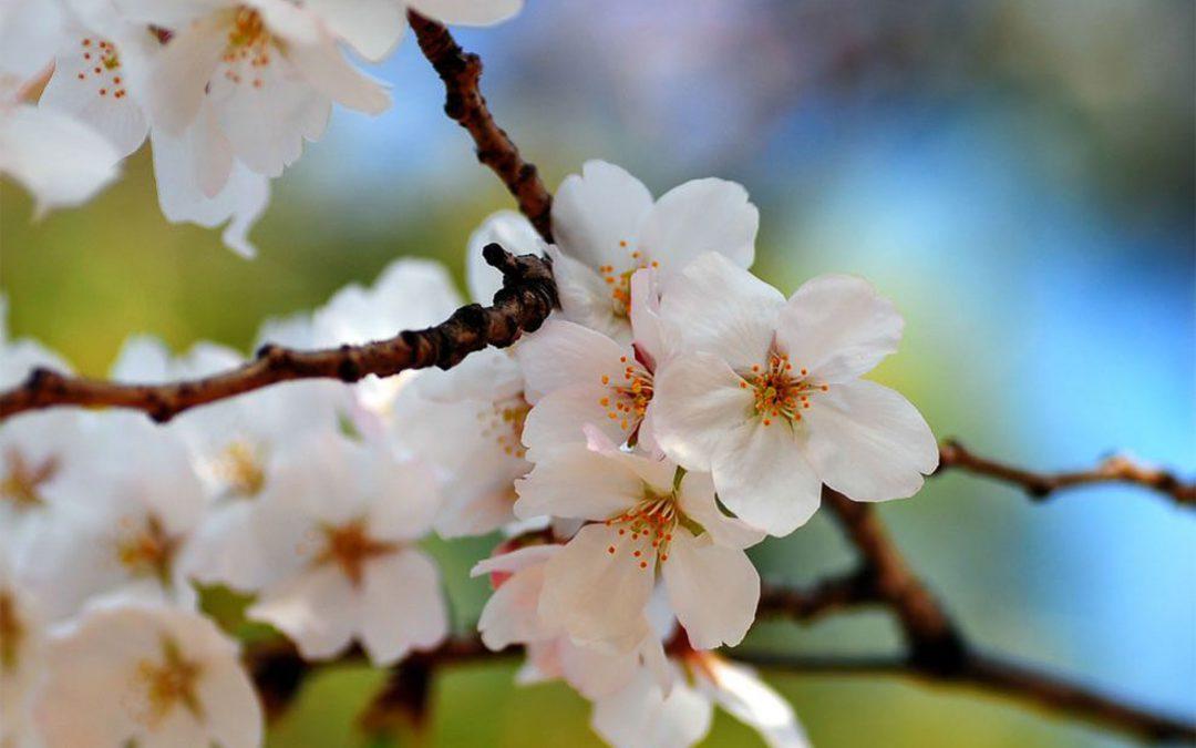 Qu'est-ce que les affiches au cerisier en fleurs et la couverture soulignant la dignité ou couverture de fin de vie?